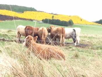 Mixed colour cows near a yellow field of gorse near Abriachan