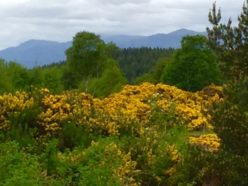 Yellow gorse in the foreground with dark mountains behind from our garden at Pinewood